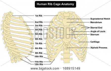 Human body Rib Cage Anatomy anterior and right lateral view all bones surface sternum vertebra vertebral column sternal end cartilage xiphoid process  science education infographic