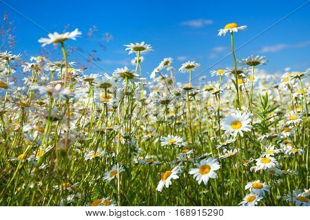 summer rural landscape with a field and blue sky. flowers camomiles on meadow.blossoming chamomiles