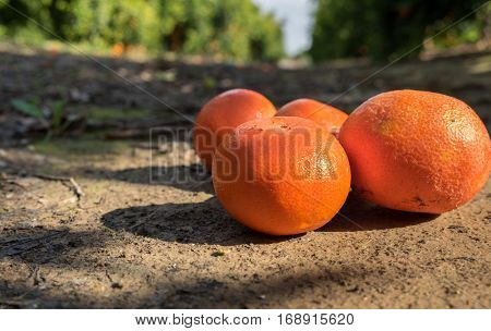 Orange Tangerines On Ground At Agricultural Farm