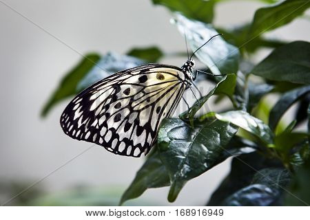 Beautiful butterfly. Insect in the nature habitat. Butterfly sitting in the green leaves, Indonesia, Asia. Wildlife scene from green forest.