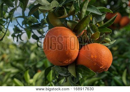 A Tangerines Spangled Tree On Blue Sky Background