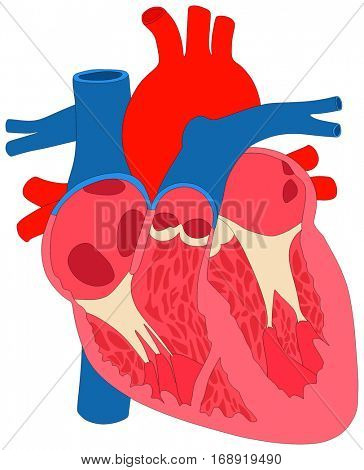 Human Heart Muscle Anatomy cross section anatomical diagram chart with all parts aorta aortic arch right left atrium ventricle valves arteries veins science biology education figure unlabeled vector