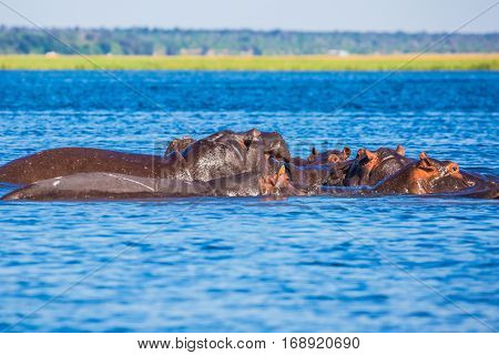 The concept of extreme and exotic tourism in Okavango Delta. Chobe National Park in Botswana. The herd of hippos on a hot day. Huge animals resting in cool waters of the river