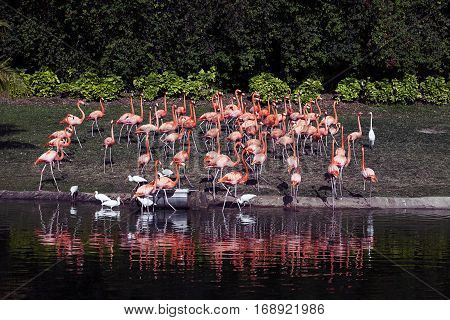 Flamingos or flamingoes are a type of wading bird in the genus Phoenicopterus, the only genus in the family Phoenicopteridae