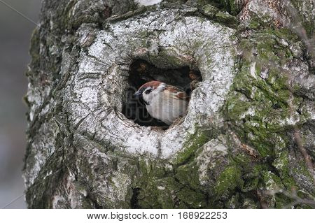 a bird a Sparrow peeking out of a hollow tree in the woods