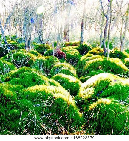 Sunlight on large clumps of moss within the bog