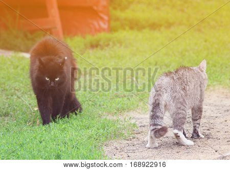 two cats stood in a threatening posture and going to fight in the spring on the grass