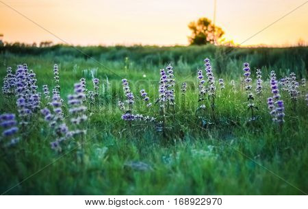 Wild Salvia Flowers On The Meadow