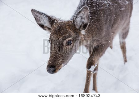 The brown fawn in the snowy winter day