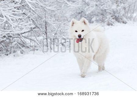 white dog Samoyed walks in the woods in winter