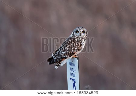 A Short-eared Owl perches on a sign. These graceful birds can be found in open grasslands where they roost on the ground.