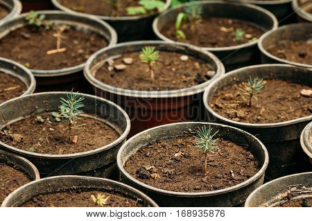 Small Green Sprouts Of Cedar Tree Plant With Leaf, Leaves Growing From Soil In Pots In Greenhouse Or Hothouse. Spring, Concept Of New Life.