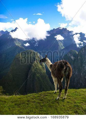 January 2013 - Macchu Picchu Peru: Beautiful portrait of a llama in the legendary mountains of Macchu Picchu under the blue sky.