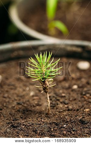 Small Green Sprouts Of Pine Tree Plant With Leaf, Leaves Growing From Soil In Pot In Greenhouse Or Hothouse. Spring, Concept Of New Life.