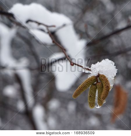 Snow on catkins of alder tree in winter.