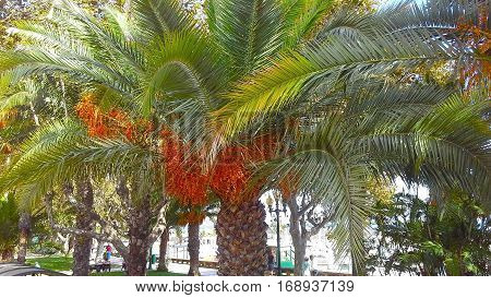 Close-up of a palm tree on the background of the city. Phoenix Palm tree flowers