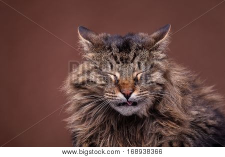 Sneezing Maine Coon Breed Cat