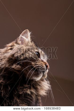 Gorgeous Maine Coon In Studio Photo