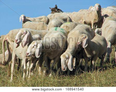 Sheep With Long White Fleece Grazing On Mountain Meadows