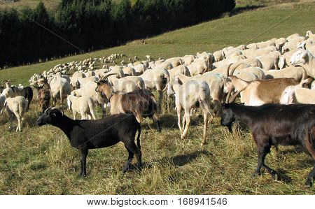 Many Sheep With Long White Fleece Grazing On Mountain Meadows