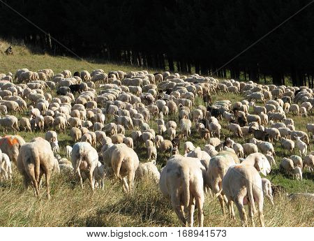 Flock With Many Sheep With White Fleece Grazing On Mountain Mead