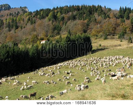 Flock With Many Sheep With White Fleece Grazing On Mountain