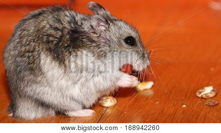 mini hamster eating its dinner on the floor