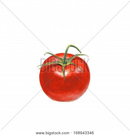 Botanical watercolor illustration of tomato on white background. Could be used as decoration for web design polygraphy or textile