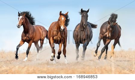 Horse herd run gallop with dust in field
