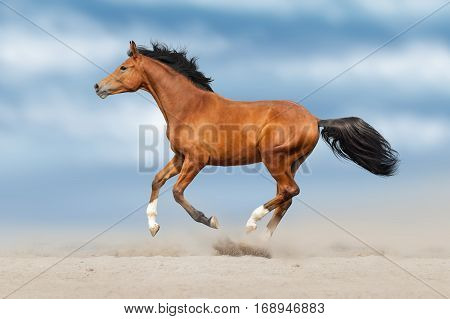 Beautiful bay horse run fast in sand