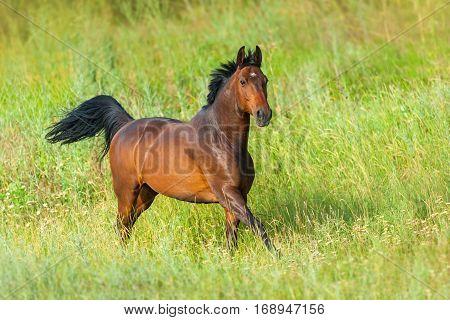 Bay stallion run gallop in green meadow