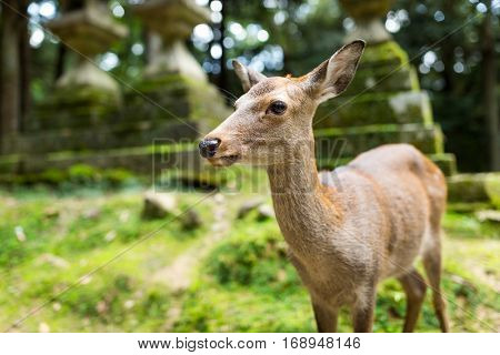 Deer in Japanese temple