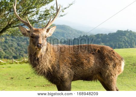 Red Stag deer