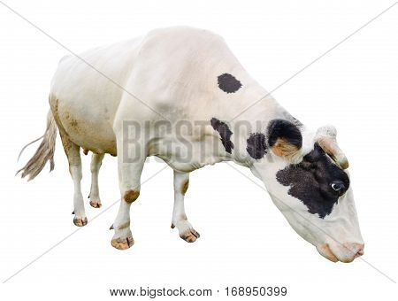 Funny cute  black and white cow isolated on white. Full length cow almost white eating. Farm animals. Cow, standing full-length in front of white background.