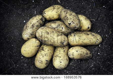 Freshly dug new potatoes second early variety Charlotte in a vegetable garden.