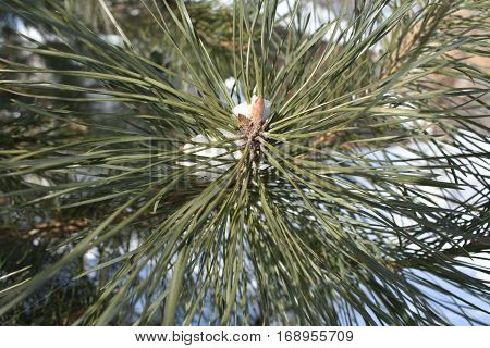 green needle pine needles in winter, a large increase