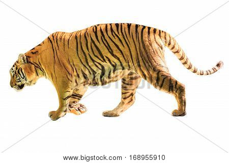 A big tiger walkin isolated on white background. side view with copy space. Thailand, Asia.