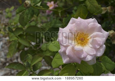 Pastel Pink Mrs Mary Thomson Rose In Bloom