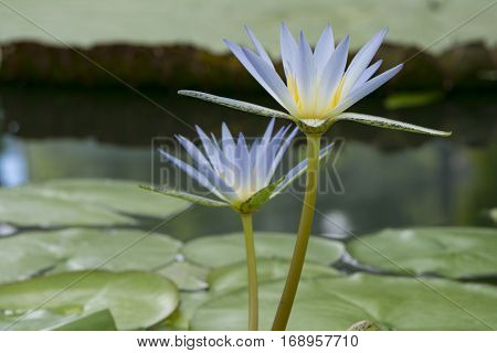 Two Nymphaea Caerulea - Blue Lotus Of Egypt