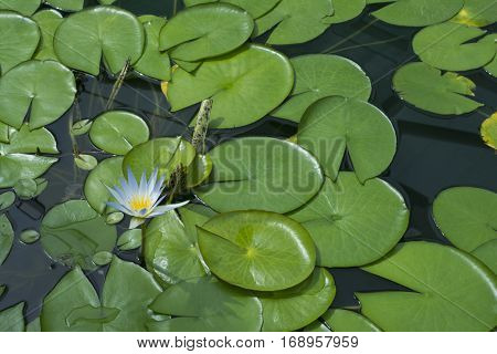 Single Nymphaea Caerulea - Blue Lotus Of Egypt Flower