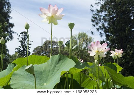 Grouping Nelumbo Nucifera, Sacred Lotus From Below