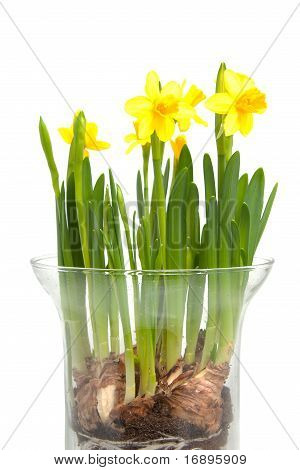 Yellow Daffodil Flower In Vase