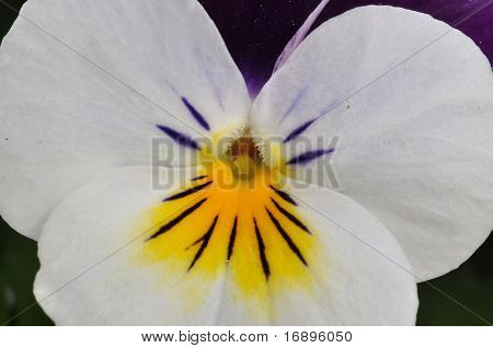 Violin Flower In Closeup
