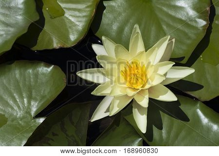 Yellow Flowering Water Lily (nymphaea) On Pond