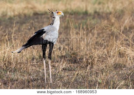secretary bird (sagittarius serpentarius) pauses for a portrait before continuing his hunt for snakes, serengeti national park, tanzania