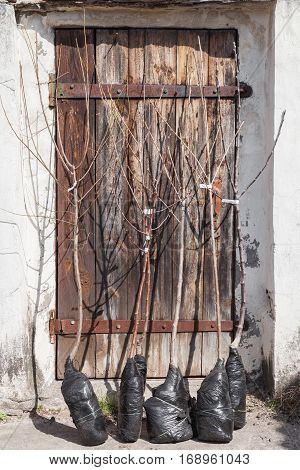 Fruit trees seedlings with closed root system in the soil before planting young fruit trees outdoors in spring gardening step by step guide