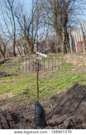 Seedling fruit tree with closed root system near landing pit outdoors closeup young fruit trees in spring gardening step by step guide