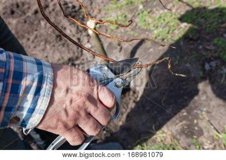 Pruning of root fruit trees before planting into soil gardening step by step guide