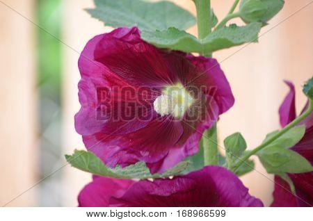 Blooming dark pink hollyhock flower blossom flowering.