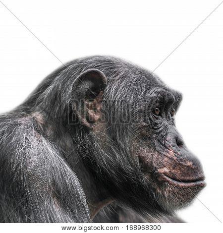 Thinking chimpanzee portrait on white background, close up